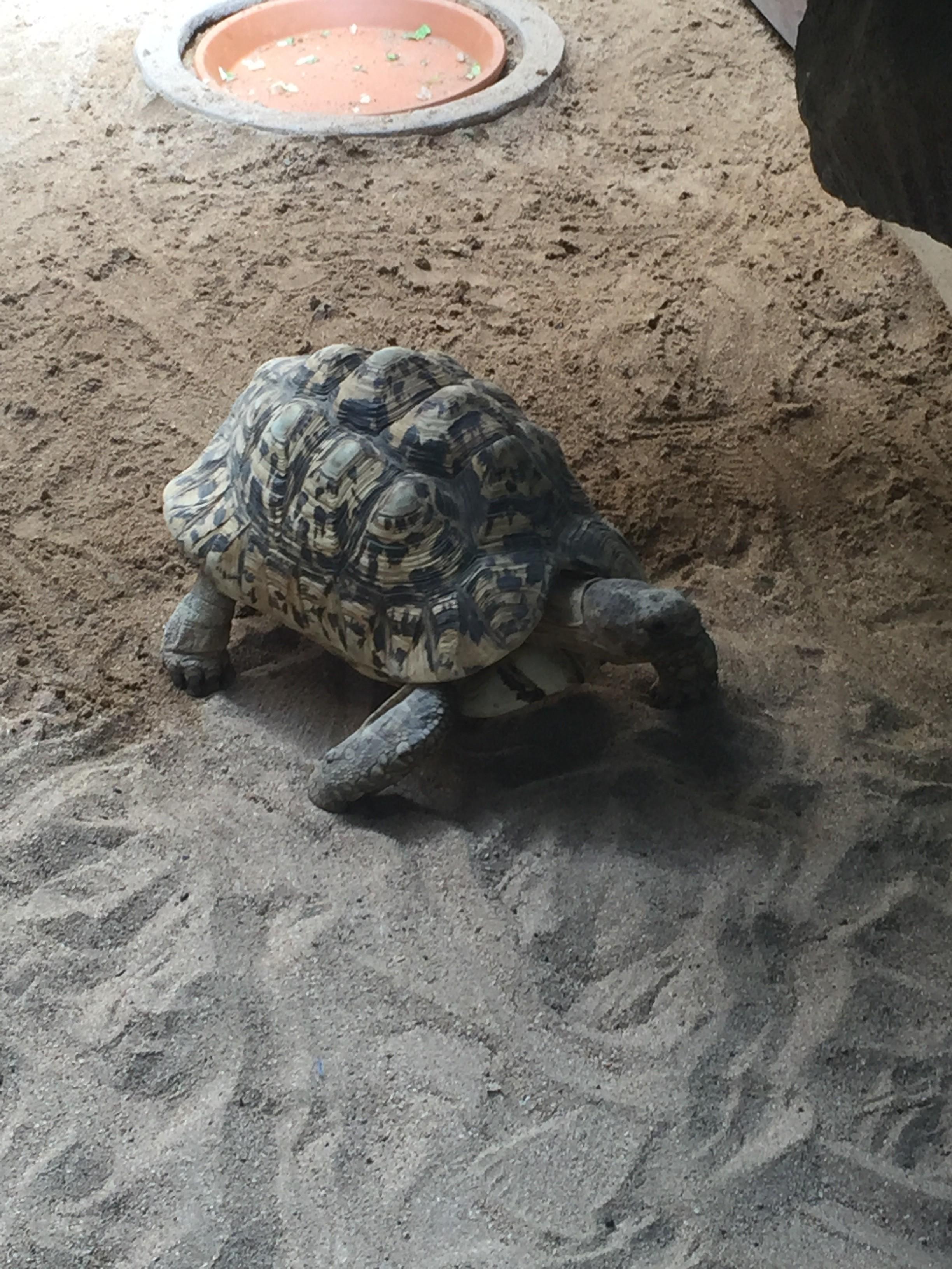 Landsköldpaddor är en favorit hos mig.